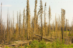 A forest recovering from a burn in the northwest territories Royalty Free Stock Photos
