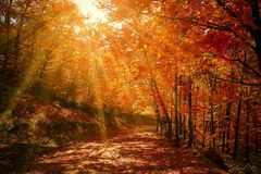Forest Red Autumn Stock Images