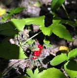 Forest red berry drupe. Wild red ripe berries and green leafs close-up, forest on background Royalty Free Stock Images