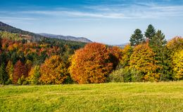 Forest with red foliage on grassy hillside. Beautiful landscape of Carpathian mountains in autumn Stock Photos