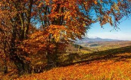 Forest in red foliage on sunny autumn day. Bench near tall trees with red foliage on hillside in Carpathian mountains with high peak in the distance on sunny Stock Photos