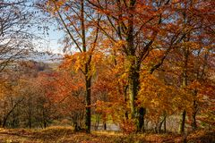 Forest with red foliage on sunny day. Ravishing nature background Stock Photography