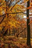 Forest with red foliage on sunny day. Ravishing nature background Stock Photo