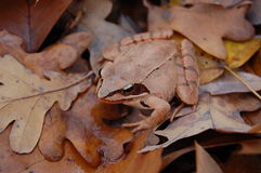 Forest red frog Stock Image