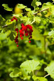Forest red fruits Stock Image