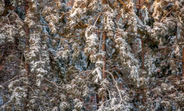 Forest of red pin covered in snow and ice. 1 Royalty Free Stock Photos