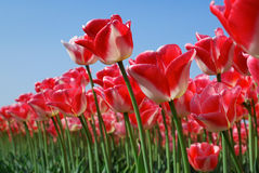 Forest of Red Tulips Stock Photography