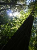 Forest: redwood tree Royalty Free Stock Image