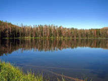 Forest reflecting on lake royalty free stock image