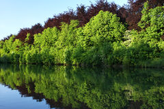 Forest reflection. In a placid lake during sunset Royalty Free Stock Image