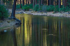 Forest Reflection. Bright Colorful Light Shining Through Conifer Forest Reflectd In River Water Royalty Free Stock Image