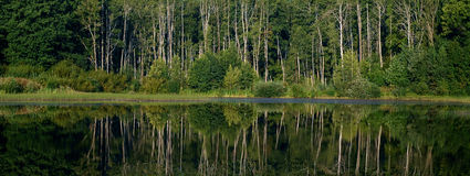 Forest reflection water. Forest reflection rhythmic surface of the water Royalty Free Stock Image