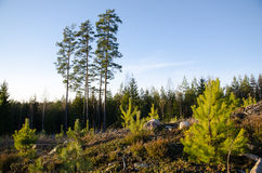 Forest regeneration with pine tree plants Stock Photo