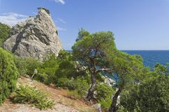 Forest of relict pines and junipers on a steep seashore. Sunny summer day. Karaul-Oba, Novyy Svet, Crimea Royalty Free Stock Photography