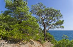 Forest of relict pines on a steep seashore. Sunny summer day. Karaul-Oba, Novyy Svet, Crimea Royalty Free Stock Photo
