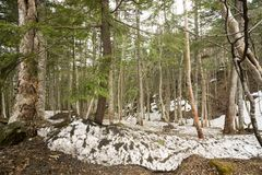 Forest with remaining snow. Mixed forest of conifers and hardwood trees with remaining snow in Katashina-mura, Gunma Royalty Free Stock Photos