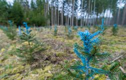 Forest restoration. Young pines detail. Pinus. Blue painted needles. Small coniferous trees. Reforested area. New growth. Green conifers. Blurry background stock photo