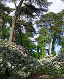 Forest with rhododendrons Royalty Free Stock Photo