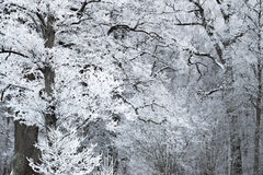 Forest with rime fros Stock Photo