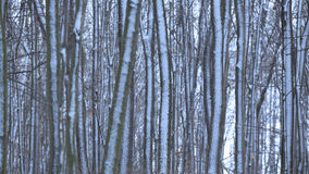 Forest with rime Royalty Free Stock Photo