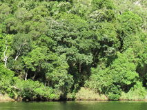 Forest on the river bank. Indigenous forest growing down to the river Royalty Free Stock Photos