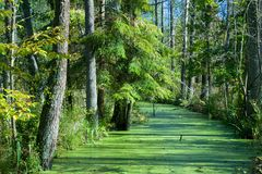 Forest river duckweed covered among alder trees Royalty Free Stock Photo