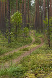 Forest road around pine trees and moss Royalty Free Stock Photo