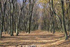 Forest road in autumn beautiful perspective Royalty Free Stock Photography