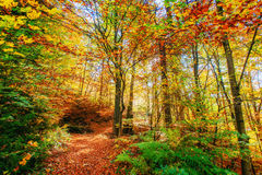 Forest Road in the autumn. Landscape. Ukraine. Europe Royalty Free Stock Image