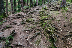 Forest road with big tree roots Royalty Free Stock Images