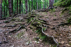 Forest road with big tree roots Stock Images