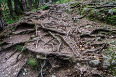 Forest road with big tree roots Royalty Free Stock Photography