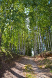 Forest road in the birch grove in summer Stock Images