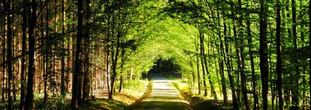 Forest road between broad leaf trees and coniferous trees creating a tunnel from branches. Summer daylight, green leafs, vibrant colours, broad leaf trees stock images