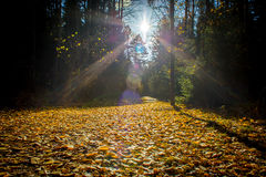 Forest road covered in yellow leaves Royalty Free Stock Photography