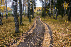 Forest road, decorated with yellow leaves. Forest road, decorated with yellow leaves, passes through a birch forest Stock Photo