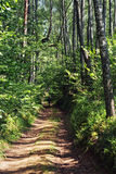 Forest road densely surrounded with trees. Stock Photography
