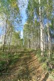 Forest road in early autumn. Trees wall stand to the left and right of the road. Forest road in early autumn. Trees with green leaves wall stand to the left and royalty free stock photos