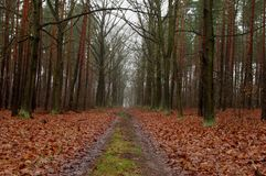 Forest road in the fall. Royalty Free Stock Image