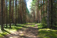 Forest road going through the rows of pines on a sunny summer day stock photo