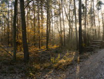 Forest road in a green foggy forest with sun rays in background Royalty Free Stock Photo