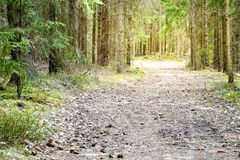 Forest road in a green sunny forest.  Stock Photos