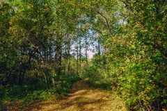 Forest road among green trees. A forest path running among the big green trees Royalty Free Stock Photo