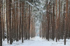 Forest Road In The Winter. Royalty Free Stock Images
