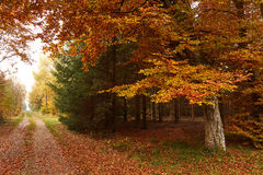 Forest road leading through the forest and a big beech at fall. Forest road leading through the forest and a big beech with colorful golden leaves in autumn Royalty Free Stock Image
