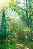 Forest road in morning Stock Photography