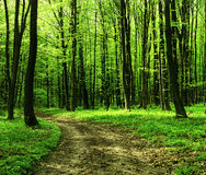 Forest road in the morning Royalty Free Stock Photo