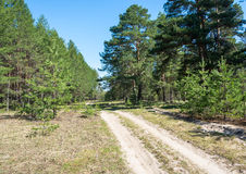 Forest road in the pine forest. Stock Photo