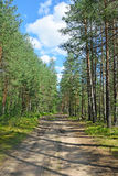 Forest road in a pine forest on a summer day under the blue sky Stock Photos
