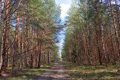 Forest road. The spring road in the young wood adjusts on a romantic harmony Stock Images